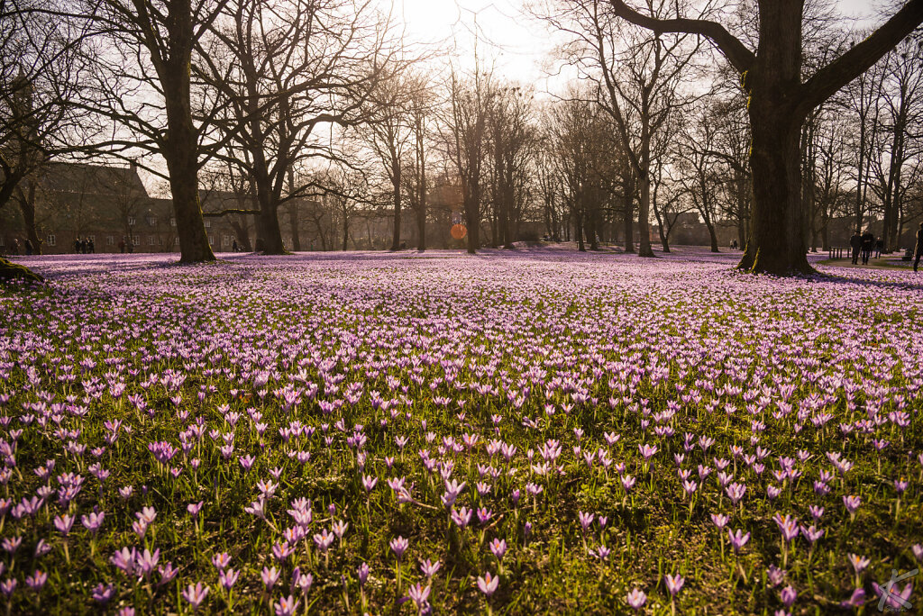 Krokusblüte Husum